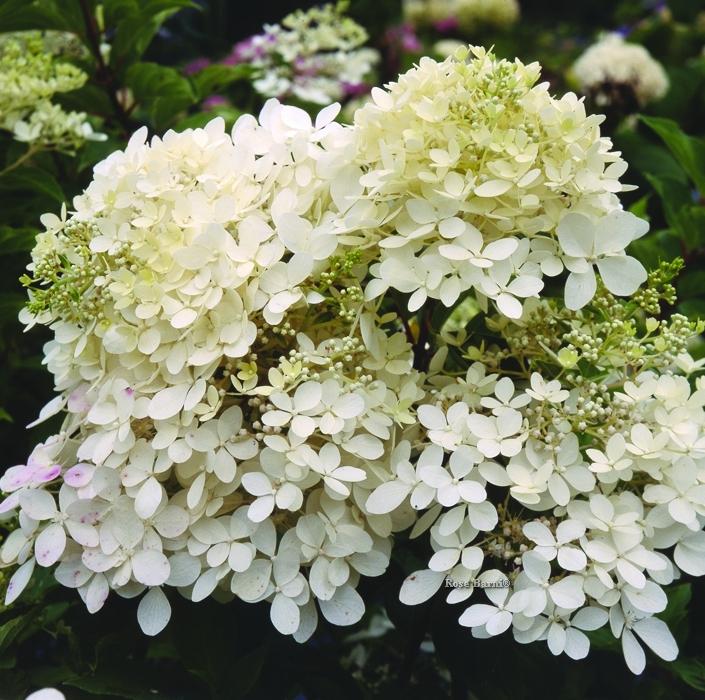 hydr. panic. grandiflora | cod.54014 | Rose Barni