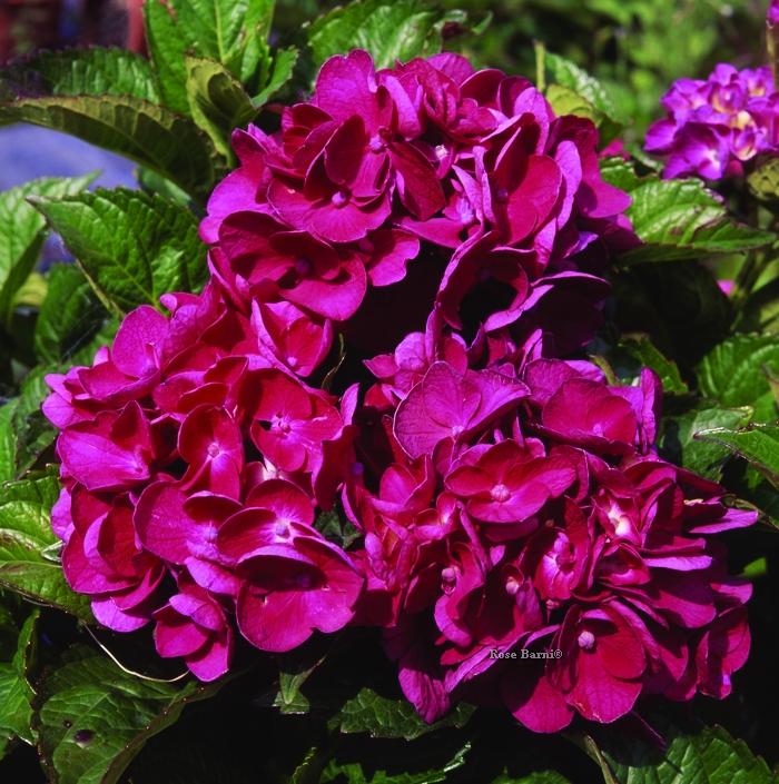 hydr. merveille sanguine | cod.54015 | Rose Barni