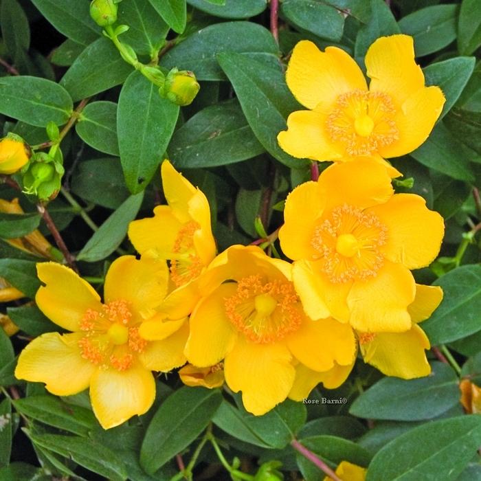 hypericum hidcote | cod.54033 | Rose Barni