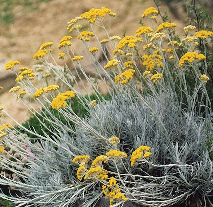 helichrysum italicum | cod.54088 | Rose Barni