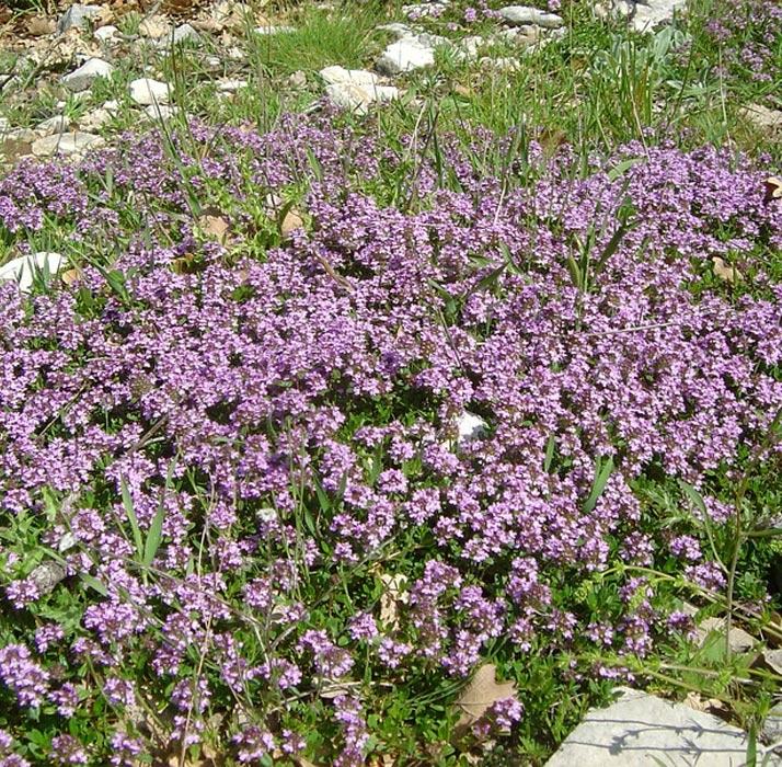 thymus serpyllum | cod.54092 | Rose Barni