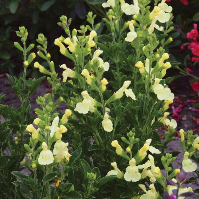 salvia greggii suncrest lemon li | cod.54136 | Rose Barni