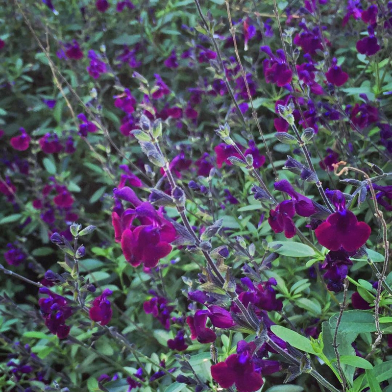 salvia x jam violette de loire | cod.54137 | Rose Barni