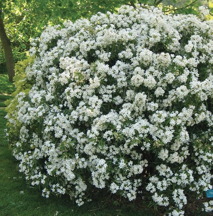 offerta spec arbusti compatti | cod.54145 | Rose Barni