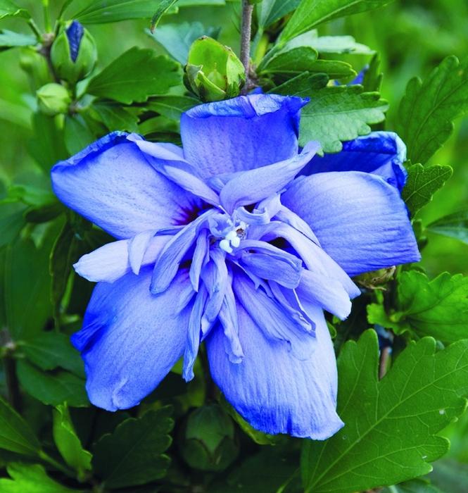 hibiscus syr blue chiffon®   cod.54150   Rose Barni