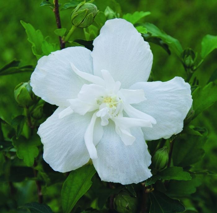 hibiscus syr white chiffon® | cod.54153 | Rose Barni