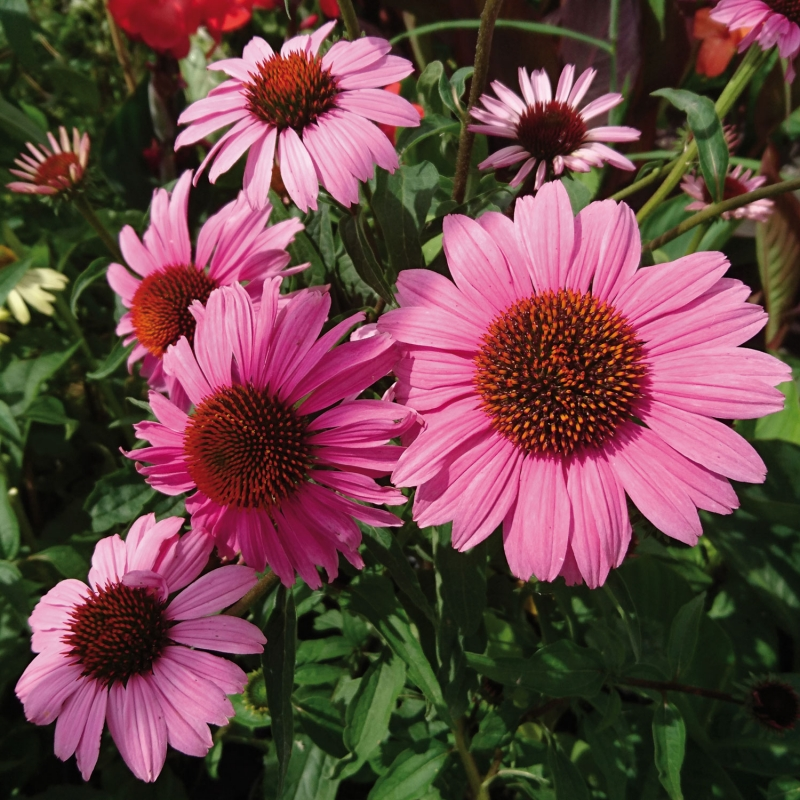 echinacea fatal attraction ® | cod.54157 | Rose Barni