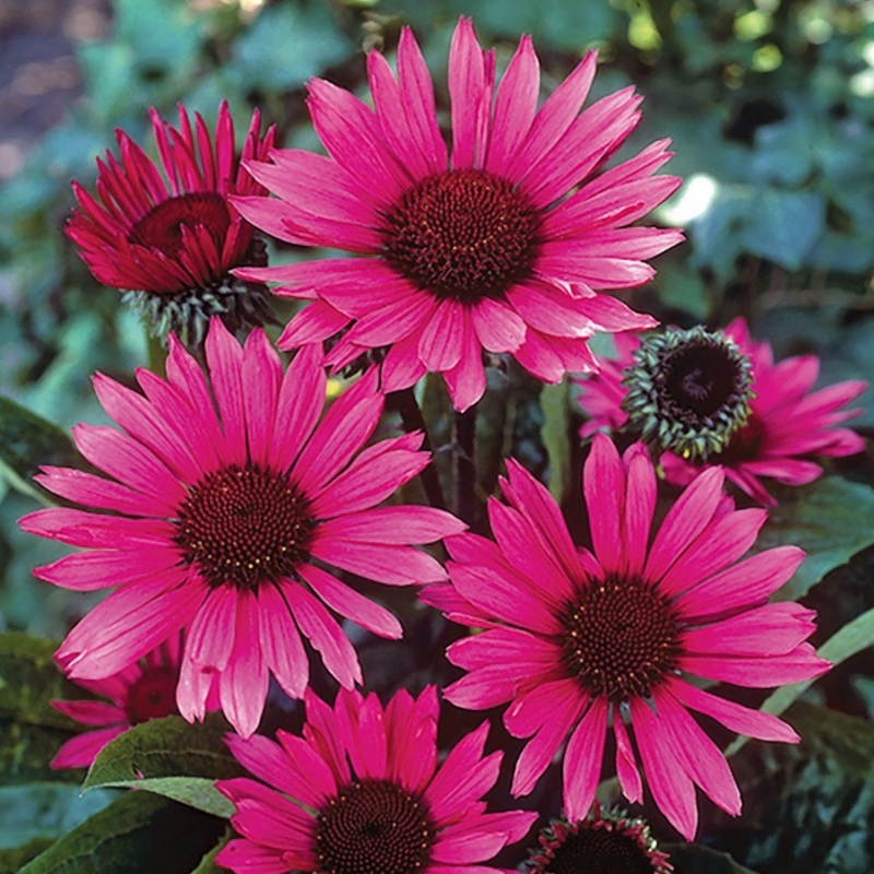 ECHINACEA FATAL ATTRACTION ®
