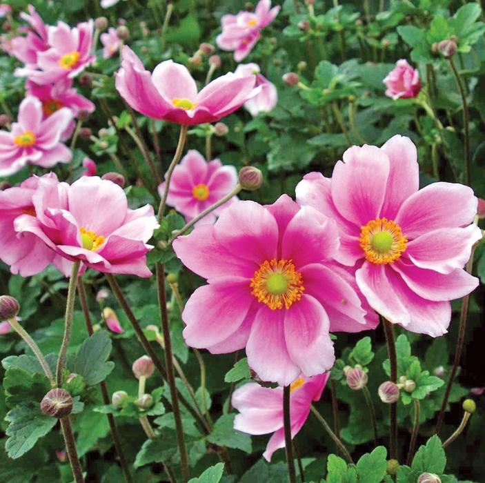 offerta speciale anemoni | cod.54172 | Rose Barni