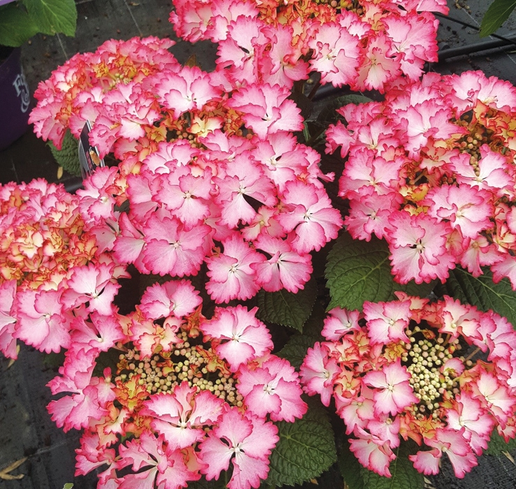 hydrangea french cancan rose ® | cod.54212 | Rose Barni