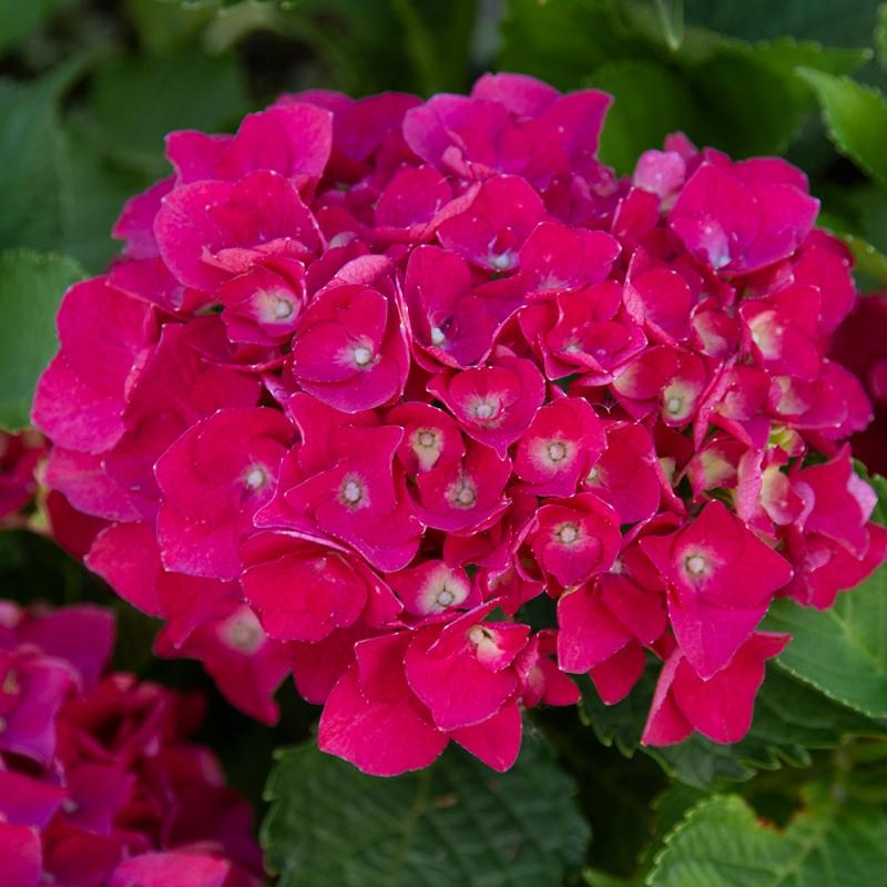 hydrangea julisa | cod.54224 | Rose Barni