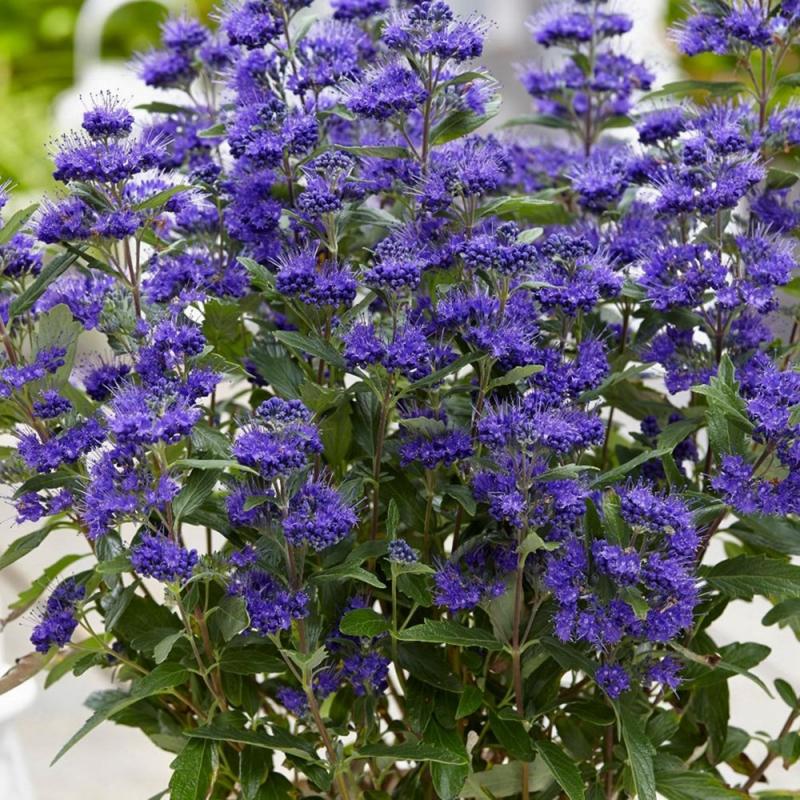 caryopteris x c grand blue | cod.54261 | Rose Barni
