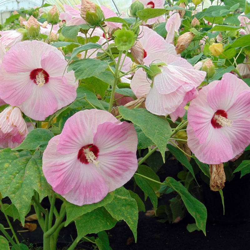 HIBISCUS MOSCH. PINK CANDY®