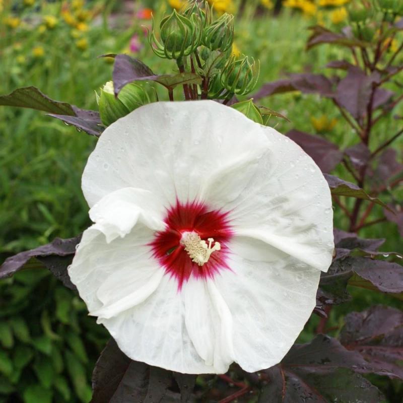 hibiscus mosc. kopper king® | cod.54357 | Rose Barni