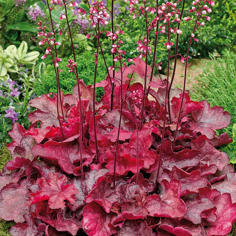 heuchera fire chief ® | cod.54425 | Rose Barni