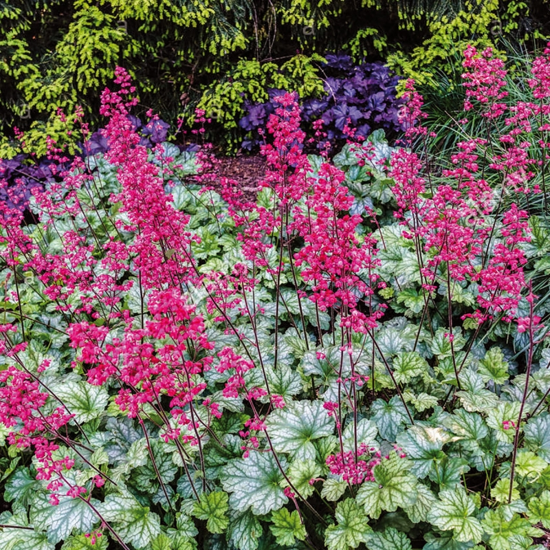 heuchera paris ® | cod.54427 | Rose Barni