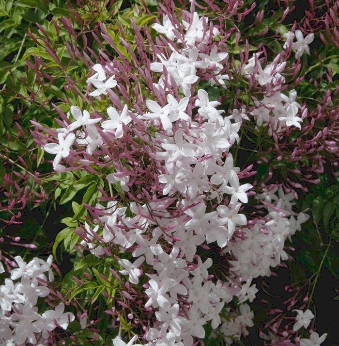 jasminum polyanthum | cod.58004 | Rose Barni