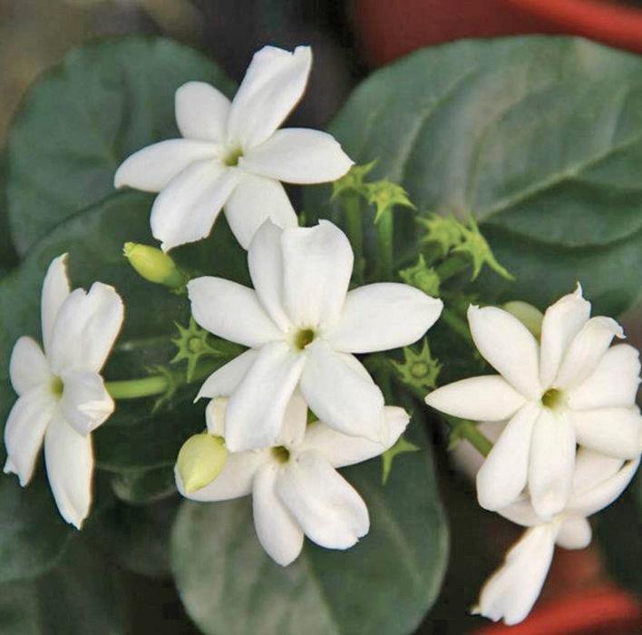 jasminum sambac | cod.58006 | Rose Barni