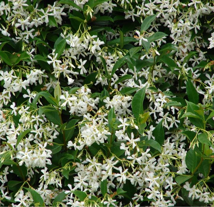 trachelospermum jasminoides   cod.58009   Rose Barni