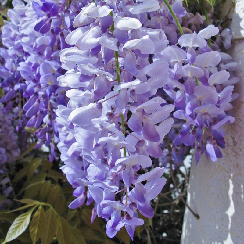 wisteria floribuna jissai ® | cod.58026 | Rose Barni