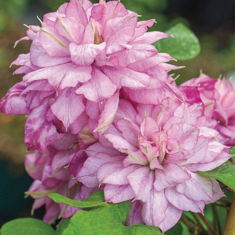 OFFERTA SPECIALE CLEMATIS