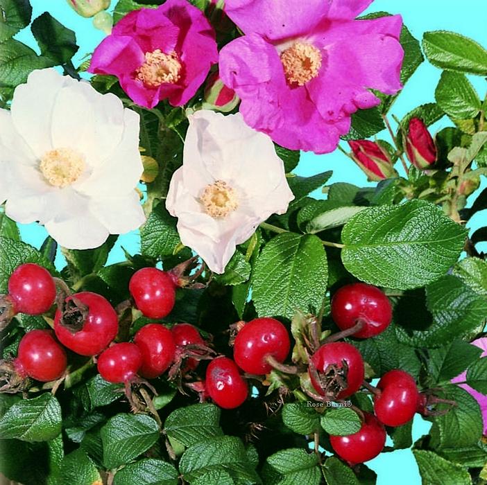 offerta speciale 50 rugose rn | cod.58090 | Rose Barni