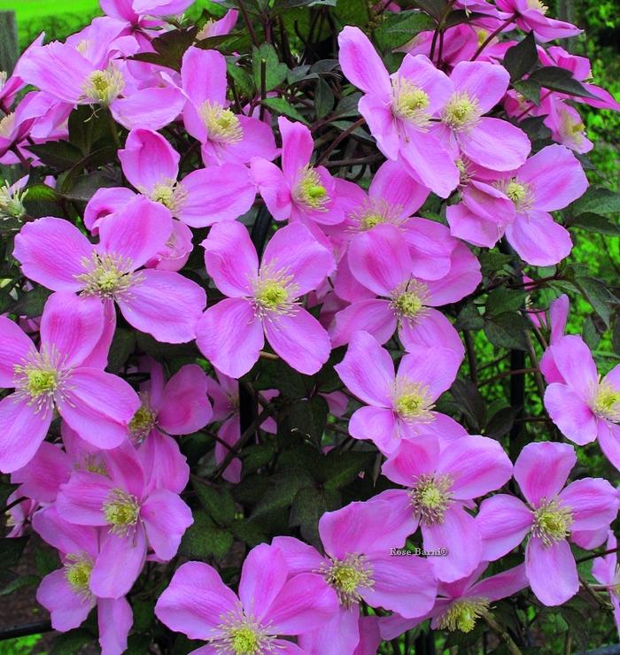 clematis montana rubens | cod.58146 | Rose Barni