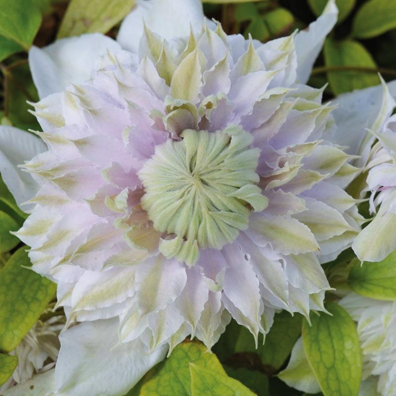 clematis moonglow | cod.58250 | Rose Barni