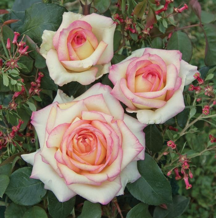offerta fascino vaso | cod.71014 | Rose Barni