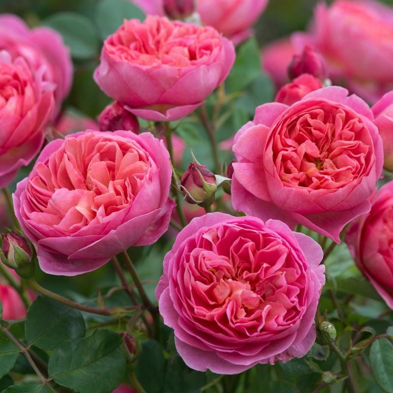 offerta rose inglesi vaso 2019 | cod.71048 | Rose Barni