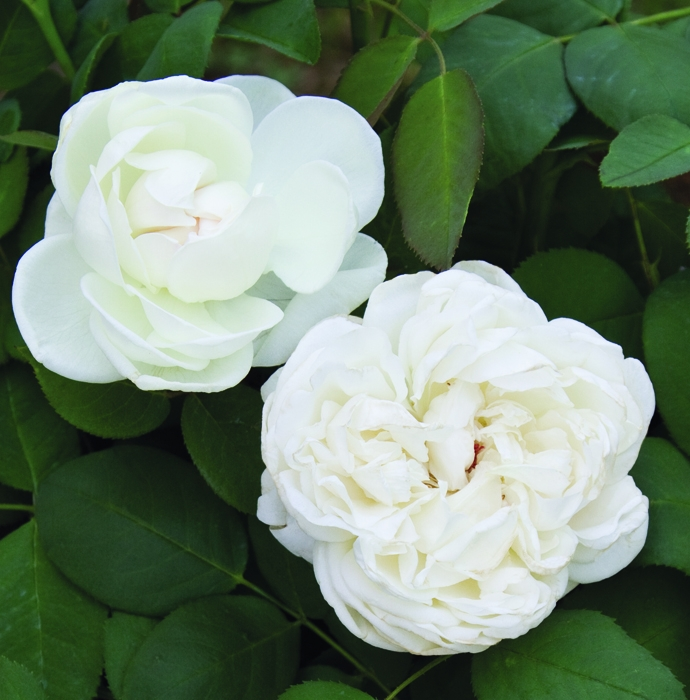 offerta tosc profumo vaso | cod.71192 | Rose Barni