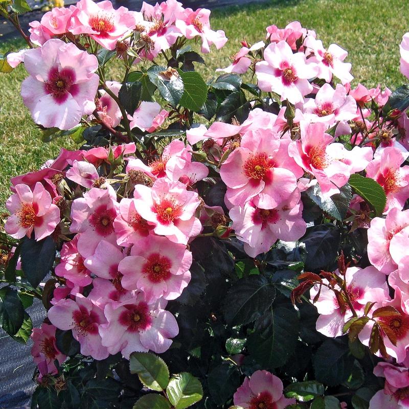 offerta iridi vaso | cod.72076 | Rose Barni