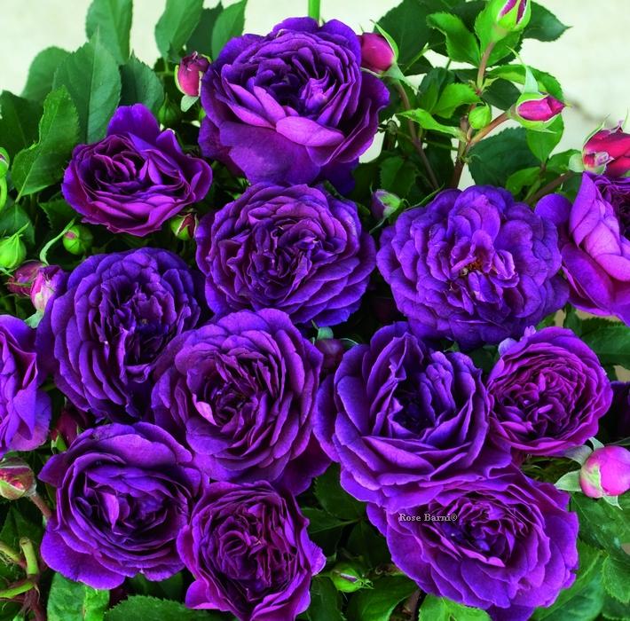 purple eden ® | cod.72082 | Rose Barni
