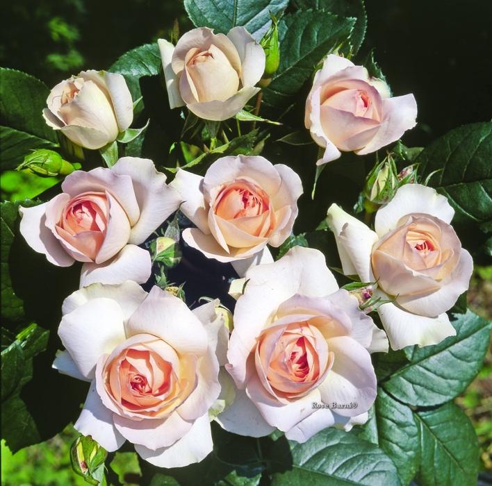offerta fantasia vaso 2019 | cod.72090 | Rose Barni