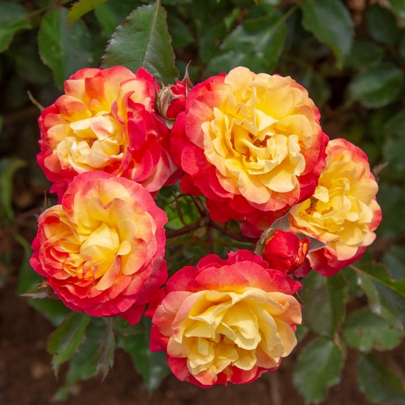 offerta lillipuziane 2 vaso | cod.73005 | Rose Barni