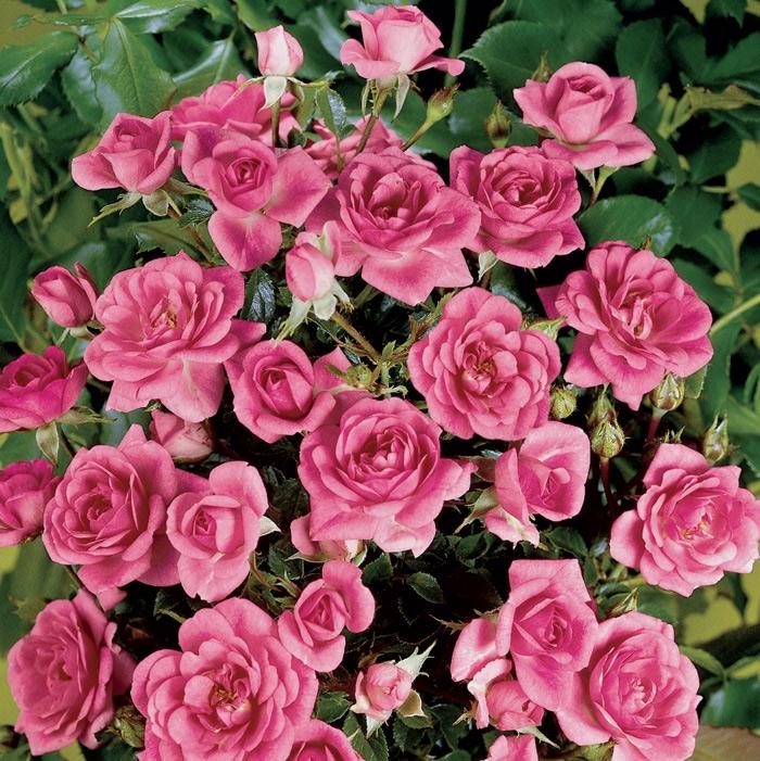 offerta lillipuziane vaso | cod.73035 | Rose Barni
