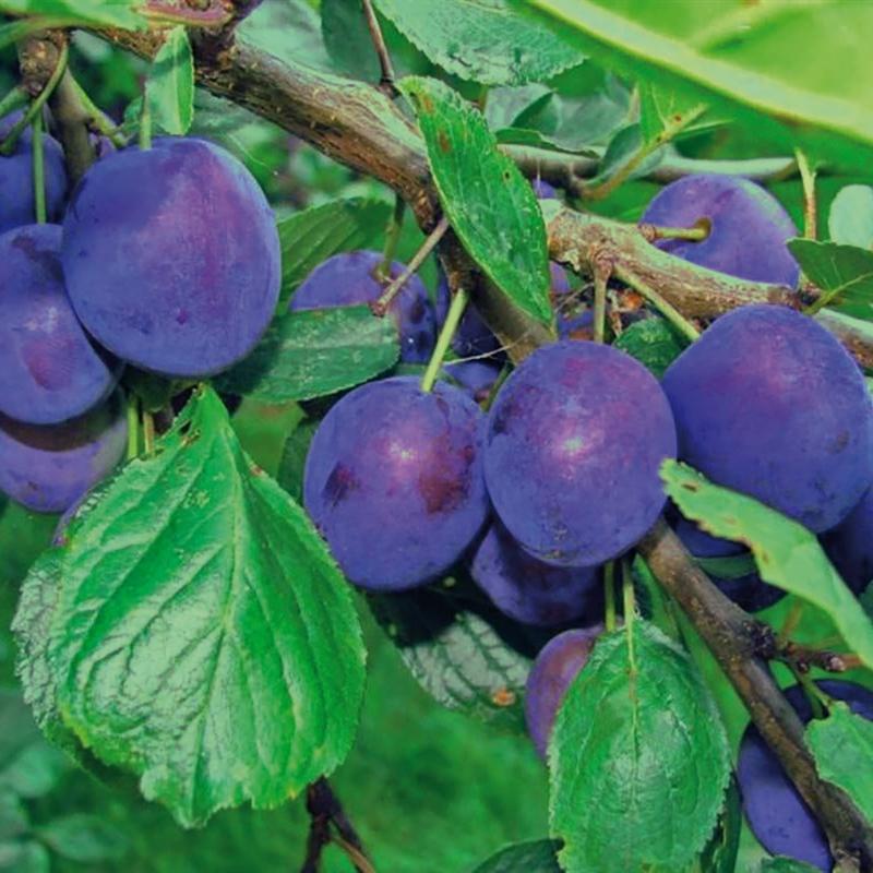 offerta speciale alberi frutto | cod.98002 | Rose Barni