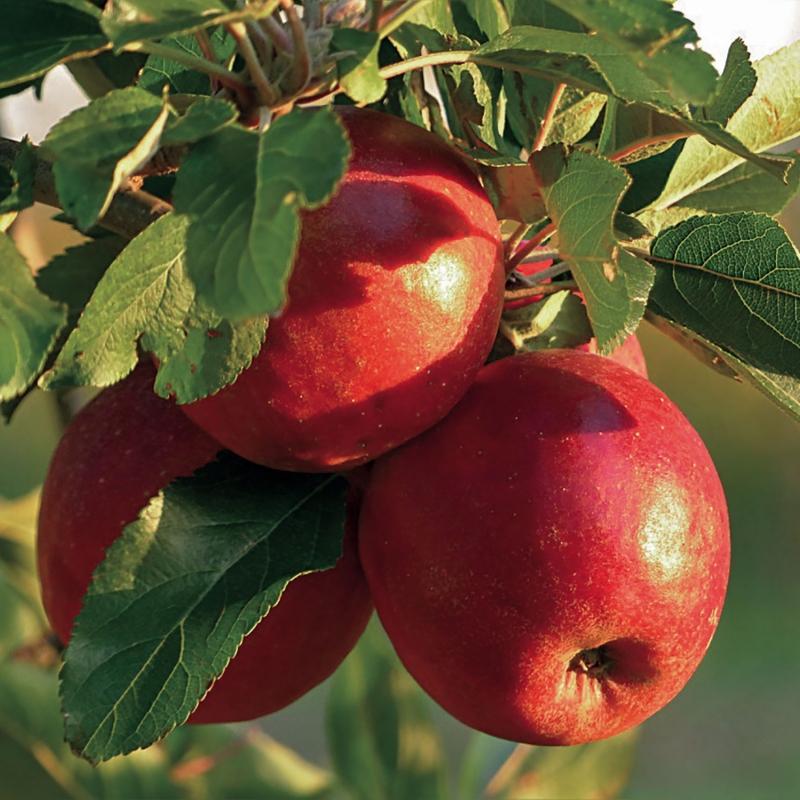 offerta spec. alberi frutto nani | cod.98019 | Rose Barni